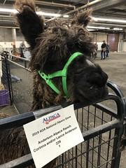 Same name (f l a m i n g o) Tags: special meaning son animal alpaca competition show