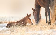 One Day Old (overthemoon3) Tags: wildlifephotography wildhorses northdakota wildlife nature winter
