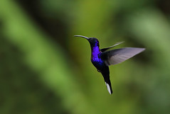 Violet Sabrewing Hummingbird (ashockenberry) Tags: ashleyhockenberryphotography animal avian wildlife wildlifephotography wild wilderness eco exotic reserve rica rainforest river rocky costa vacation beautiful bird beauty blue travel tourism tropical habitat landscape light jungle hummingbird nature naturephotography natural native beak birding violet sabrewing