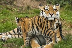 ZSL Whipsnade: Naya and Dmitri (Amur Tigers) (Jasmine'sCamera) Tags: zsl whipsnadezoo zslwhipsnade whipsnade cat cats bigcat big amur amurtiger tiger cub