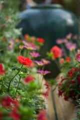 Whisper Down the Lane (JeffMoreau) Tags: longwood gardens poppy dof depth field focus sony a7ii macro bokeh bokehlicious chester county