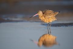 Marbled Godwit (nikunj.m.patel) Tags: shorebirds marbledgodwit nature wild wildlife nikon naturephotography outdoor bird birds godwit
