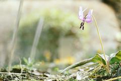 _DSC8963 (shoji imamura) Tags: erythronium japonicum flower spring tokyo machida yakushiike カタクリ 花 野草 春 東京 町田 多摩 薬師池 薬師池公園 dogtooth violet
