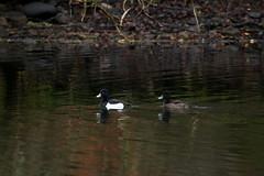 IMG_5139 (monika.carrie) Tags: monikacarrie wildlife scotland fyvie