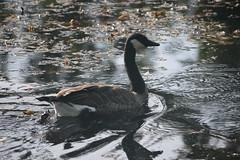 Canada Goose (maritimeorca) Tags: animal billyfrankjrnisquallynationalwildliferefuge bird brantacanadensis canadagoose goose thurstoncounty washington