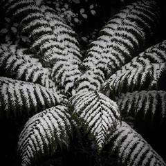 Snowy Fern (superdaft) Tags: fern snow winter canon 550d 70200f4 uk north east