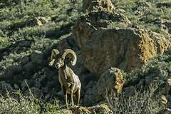 Big Horn sheep watching over the Apache Trail, Arizona (TAC.Photography) Tags: bighornsheep arizona apachetrail 2019yip nature southwest western