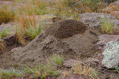 Mound of snouted harvester termites, probably Trinervitermites sp, at Marakele National Park, Limpopo, South Africa.