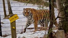 86/365 Amur Tiger (OhWowMan) Tags: 365the2019edition 3652019 day86365 27mar19 ohwowman nikon d3300 acdseepro9 alaska anchorage alaskazoo amur siberian tiger electricfence electric fence enclosure cage animal cat felidae felid carnivore carnivora zoo 365project my2019challenge animageaday dailyphotography