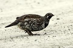 Tétras du Canada (Marie-Helene Levesque) Tags: oiseau abitibi valdor valsenneville tetras tétrasducanada mariehélène mariehelene