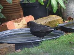 Blackbird Male glad to find unfrozen water (river crane sanctuary) Tags: blackbird male rivercranesanctuary bird