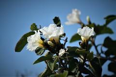 White Azalia (jclegill) Tags: flower azalia
