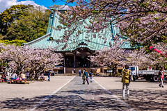 Cherry blossoms at Main Hall of Komyoji Temple : 鎌倉・光明寺本堂 (Dakiny) Tags: 2019 spring april japan kanagawa kamakura zaimokuza city street temple komyoji architecture building nikon d750