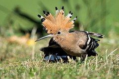 Hoopoe 14-Sept-18 G 004 (gomo.images) Tags: 2018 bird country hoopoe nature rossandcromarty scotland theblackisle years