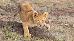 lion cub  Massai Mara (eric hughes 2014) Tags: lion cub massaimara kenya africa wildlife nature outdoors animal baby mammal canon 7dmarkii 300mmf28lllisusm 2019