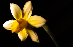 The Daffodil. . . (CWhatPhotos) Tags: cwhatphotos olympus omd micro four thirds 43 digital camera photographs photograph pics pictures pic picture image images foto fotos photography photo tint artistic that have which with contain art yellow daffodil small miniature plant flower flowering light shadow shadows macro em5 mk ll zuiko 60mm closeup flickr
