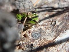 Pacific Chorus Frog, Pseudacris regilla (adventures_with_martin) Tags: pacifictreefrog pseudacrisregilla pacificchorusfrog