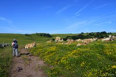 Via Podiensis 2 (litang13) Tags: pèlerinage pèlerin camino chemin spirituel saint jacques stjacques compostelle pilgrim marche randonnée radonneur treck aubrac vache bétail pâturage vert bleu ciel jaune