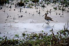 Snipe on ice. (vickyouten) Tags: snipe nature naturephotography wildlife britishwildlife wildlifephotography nikon nikond7200 nikonphotography nikkor55300mm penningtonflash leigh uk vickyouten