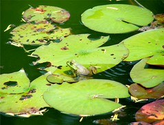 Frog on Lily Pad (Stanley Zimny (Thank You for 37 Million views)) Tags: leaf float frog amphibian animal