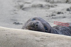 These eyes...Elephant Seal baby at Piedras Blancas (gyefydfu93) Tags: sansimeon wildlife eyes babyanimals elephantseal piedrasblancas