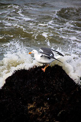 Seagull (madi tara) Tags: wild wildlife birtd seagull water california birds ocean sealife sea animal animals creature