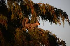 sunset squirrel (HoosierSands) Tags: ealing london