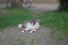 Pointed Cat (Flexible Negativity) Tags: kitten kitty k70 cat caturday nuko pentax pointedcat 猫 貓 meow ねこ