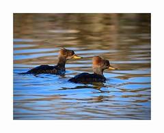 Female Hooded Mergansers (George McHenry Photography) Tags: ducks mergansers hoodedmerganser southcarolinabirds southcaolina lakeconesteenaturepark waterfowl