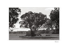 Eucalyptus (radspix) Tags: yashica 230af kyocera af 2885mm f3545 arista edu ultra 100 pmk pyro
