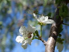 Scent of Spring (RoBeRtO!!!) Tags: rdpic white almond flower bud spring macro fiore bianco bocciolo mandorlo primavera closeup sonyhx400v