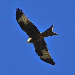 Red Kite 5 Mar 2019 (Tim Harris1) Tags: nikond7100 nikkor80400afs sculthorpemoor norfolk birds redkite