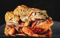 Frogs in Love (Celimaniac) Tags: ranatemporaria grasfrosch frosch frog frogsinlove pairing paarung nikond800e