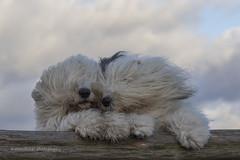 enduring the storm together (dewollewei) Tags: storm oes bobtail oldenglishsheepdog oldenglishsheepdogs wind dog dogs beaufort windshept old english sheepdog