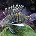 Lion fish (1)