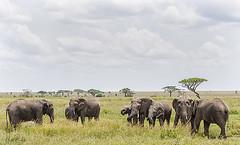 AFRICAN ELEPHANT 4 (Nigel Bewley) Tags: tanzania africa wildlife nature wildlifephotography nigelbewley photologo appicoftheweek africanelephant loxodontaafricana seronera serengetinationalpark march march2019 safari gamedrive