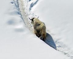 Yak a Solda (giorgiorodano46) Tags: marzo2019 march 2019 guirgiorodano solda sulden altoadige sudtirolo italy inverno winter hiver alpi alpes alps alpen