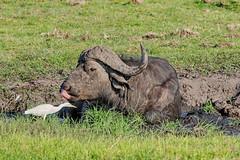 Африканский буйвол, Syncerus caffer caffer, African Buffalo (Oleg Nomad) Tags: африканскийбуйвол synceruscaffercaffer africanbuffalo африка ботсвана чобе сафари животные botswana africa chobe safari animal travel