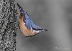 Nuthatch (Explored) (muppet1970) Tags: nuthatch bird lackfordlakes suffolk tree nature wildlife