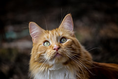 Rodney (CraDorPhoto) Tags: canon6d pets animals cats domesticanimals