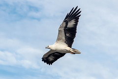 White Bellied Sea Eagle (Nature's Image Photography) Tags: whitebelliedseaeagle flight wings birds nature