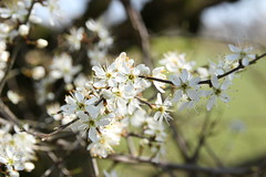 Sloe blossom (worldthroughalens74) Tags: blossom sloe spring tree nature outdoors uk england staffs canon sigma
