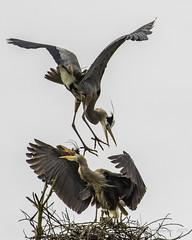 Great Blue Herons (Bob Gunderson) Tags: ardeaberodias birds california goldengatepark greatblueheron herons northerncalifornia sanfrancisco stowlake wadingbirds