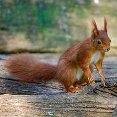 Red squirrel / Écureuil roux (Eric KAROUTCHÉ) Tags: redsquirrel ecureuilroux squirrel ecureuil woods bois forest foret wildlife nature eosr ef100400mm