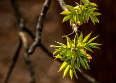 Spring 2019 Blooms (2) (tommaync) Tags: spring 2019 march blooms buds nature outdoor trees nikon d7500 chathamcounty chatham nc northcarolina