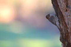 Pastel Morning (Neal D) Tags: bc abbotsford milllake bird bushtit psaltriparusminimus female