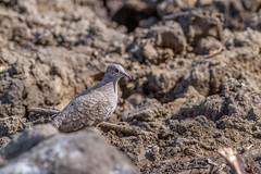 Inca Dove (Mario Arana G) Tags: 7d ave bird birding cr canon costarica estacionhorizontes florayfauna guanacaste incadove marioarana nature naturephotography photography wildlife wildlifecostarica