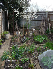 April 1st, 2019 Stuff beginning to grow in the garden (karenblakeman) Tags: cavershamgarden caversham uk food vegetables tree april 2019 2019pad reading berkshire fence