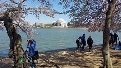 2019 Bike 180: Day 41 - Cherry Blossom Ride (mcfeelion) Tags: cherryblossoms washingtondc spring cycling bike bicycle bike180 2019bike180 jeffersonmemorial