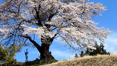 SAKURA - full spring 2019 Japan 上野原 山梨 (gudonjin) Tags: spring bloom cherry blossom japan flower fourseasons symbolic